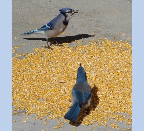 Corn WHOLE YELLOW CORN KERNEL'S