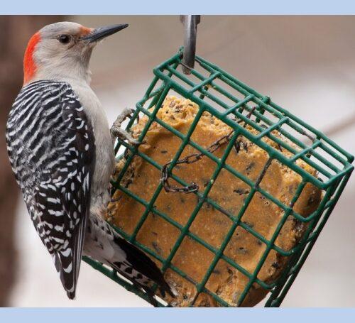 Suet Bird Food