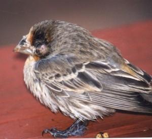 Diseases in Birds